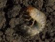 Ataenius Spretulus Larva