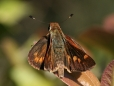 Fiery Skipper Moth (Female)