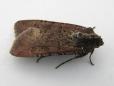 Peridroma Saucia Moth