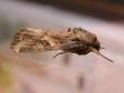 Spodoptera Frugiperda Moth