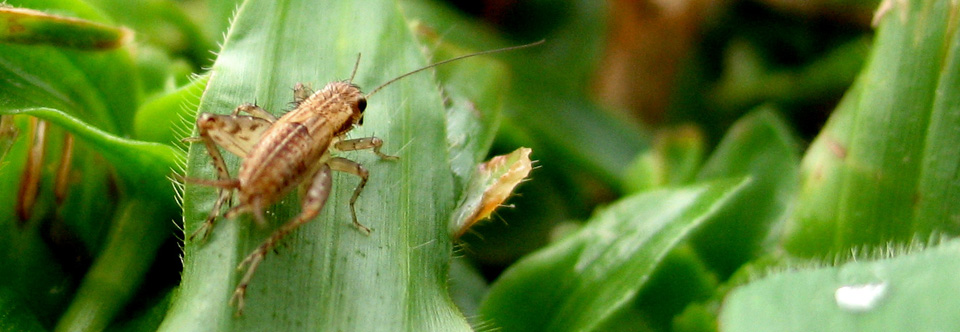 Lawn Pests (Insects)